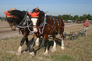 A pair of Shire horses ploughing