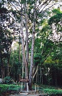 Shorea roxburghii