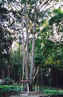 <i>Shorea</i> Genus of trees