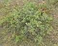 Shrubby Cinquefoil (Dasiphora fruticosa) - Gros Morne National Park, Newfoundland 2019-08-17 (01).jpg