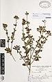 Sida rhombifolia L. (AM AK159217).jpg