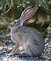 Side view close up of rabbit sitting on gravel under brush cropped.jpg