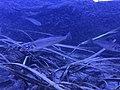 Sillago japonica-01 before.jpg