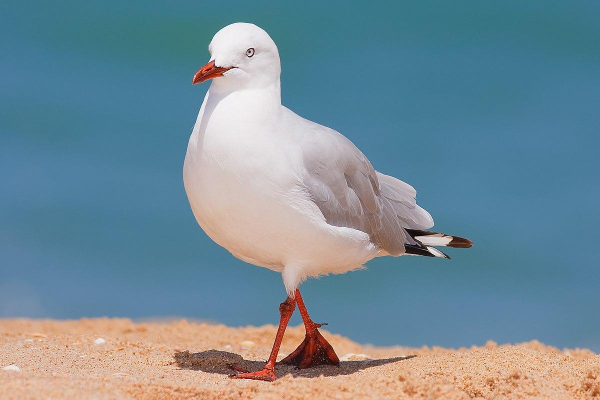 Silver gull - Wikipedia
