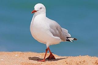 Silver gull Species of bird