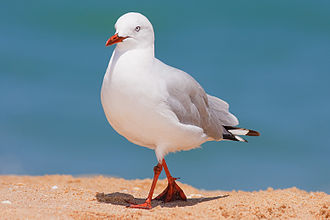 Silver gull - Adult