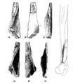 Sinanthropus Humerus I.png