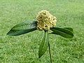 Skimmia japonica d.j.b 01.jpg