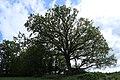 Sládečkův dub.jpg