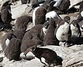 Sleepy Rockhopper Penguin Chicks (5566316039).jpg