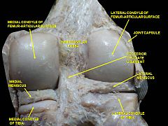 Right knee in extension. Deep dissection. Posterior view.