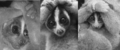 Slow lorises in defensive posture - 1678-9199-19-21-2.png