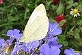 Small white (NH266) (10960693764).jpg