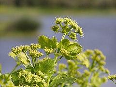 Smyrnium olusatrum flower.jpg