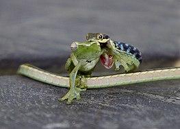 נחש טורף צפרדע