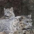 Snow Leopard mother gazing.jpg