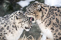 Snow Leopards Playing (12785655054).jpg