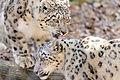 Snow Leopards Together (13882920333).jpg