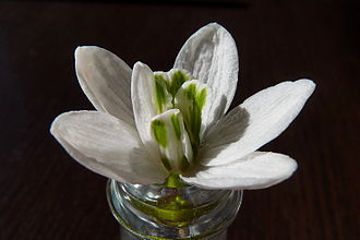 Galanthus - Snowdrop with extra tepals (mutation)