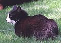 Socks the Cat Sitting on the South Lawn at the White House- 06-16-1998 (6461534691).jpg