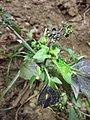 Solanum nigrum subsp. nigrum sl45.jpg