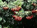 Sorbus aucuparia fruit 3.JPG