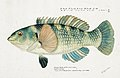Southern Pacific fishes illustrations by F.E. Clarke 99.jpg