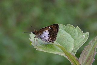 <i>Sovia</i> genus of insects
