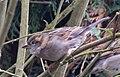 Sparrow 5 (3337422113).jpg