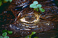 Spectacled Caiman (Caiman crocodilus) close-up (10531698275).jpg