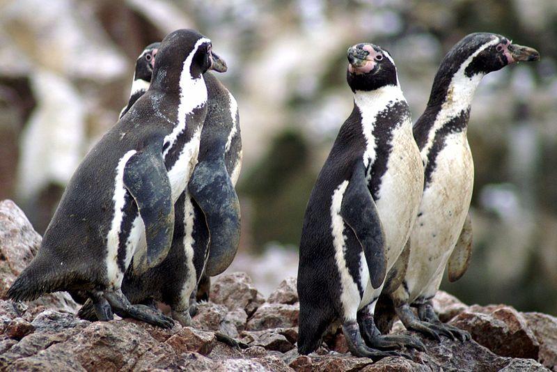 File:Spheniscus humboldti, Islas Ballestas 11.jpg