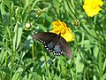 Spicebush swallowtail butterfly papilio troilus on flower.jpg
