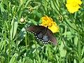 Spicebush swallowtail butterfly papilio troilus on flower.jpg