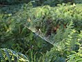 Spider and Web, Brocton, Cannock Chase - geograph.org.uk - 974575.jpg