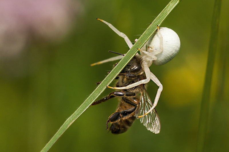 A Spider (Misumena vatia) killed a bee. Picture taken in Bratental nature reserve, near Göttingen, Lower Saxony, Germany. By Suhaknoke [CC BY-SA 3.0 license], via Wikimedia Commons