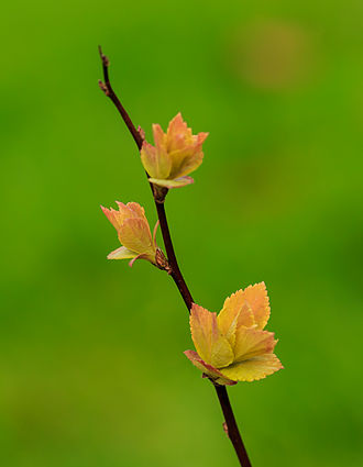 Spiraea - Spiraea japonica 'Goldflame' 06
