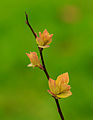 Spiraea japonica 'Goldflame' 06.jpg
