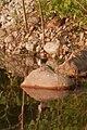 Spotted-sandpiper (Actitis macularius) - Guelph, Ontario 01.jpg