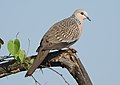 Spotted Dove Spilopelia chinensis by Dr. Raju Kasambe DSCN 2435 (4).jpg