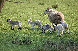 Sheep farming in Wales - Sheep and lambs near Brecon in early spring