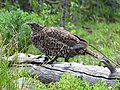 Spruce Grouse female (15200368342).jpg