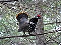 Spruce grouse at Moosehorn National Wildlife Refuge. Credit- USFWS (11713901455).jpg