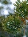 Spruce tree leaves.jpg