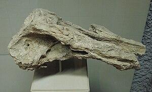 Squalodon - Partial skull