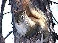 Squirrel On A Tree (56968514).jpeg