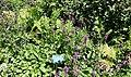 Stachys officinalis 'Hummelo' - Coastal Maine Botanical Gardens - DSC03069.jpg