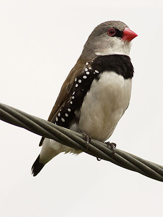Goonoo Important Bird Area - The IBA is an important site for the diamond firetail.