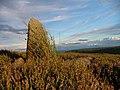 Standing Stone, Horn Ridge - geograph.org.uk - 212946.jpg
