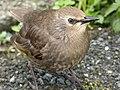 Starling Juvenile (7481521372).jpg