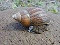 Starr-010310-0557-Sida fallax-giant African snail-West Maui-Maui (24164290399).jpg